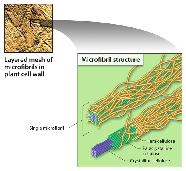 Cellulose: Processed by Microbes into Ethanol-Convertible Sugars