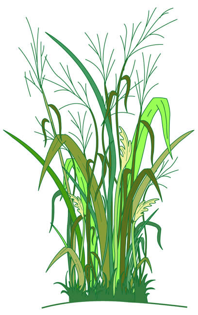 Cellulosic Biomass Feedstock: Switchgrass