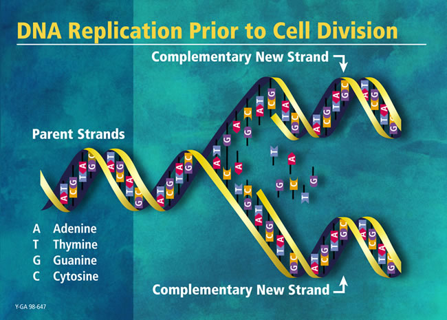 DNA Replication Prior to Cell Division