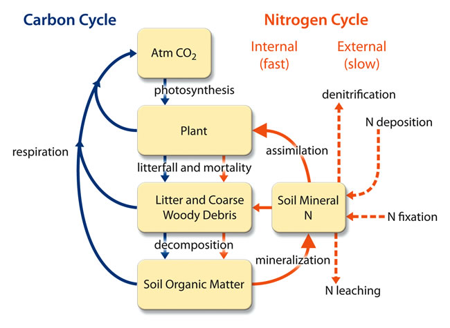 Coupling of the Carbon and Nitrogen Cycles