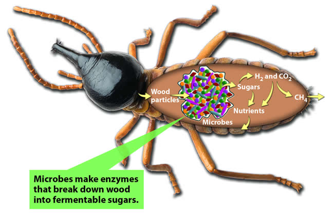The Termite Gut: Nature's Microbial Bioreactor for Digesting Wood and Making Biofuels