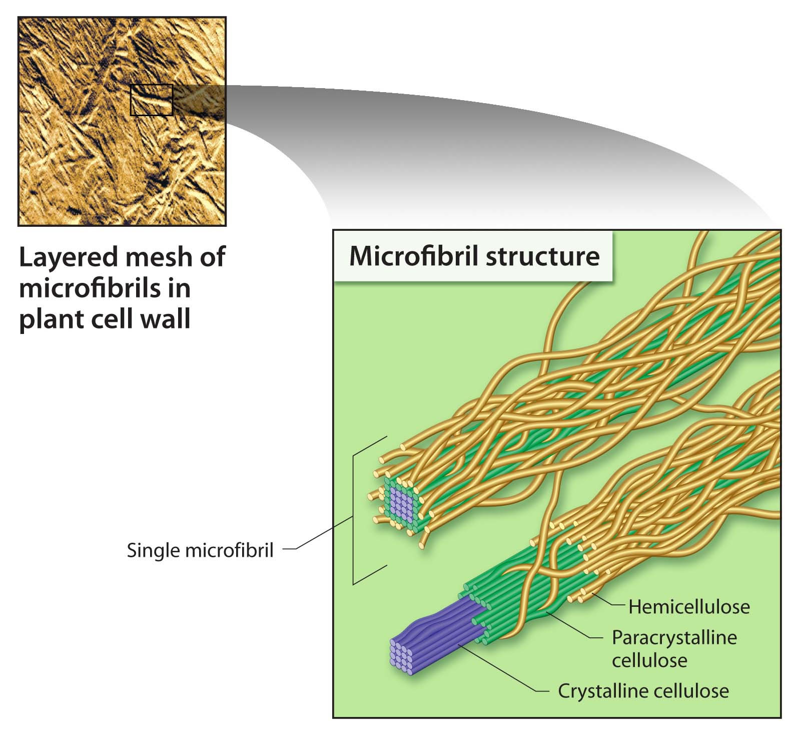 Cellulose Cell WallCellulose Cell Wall
