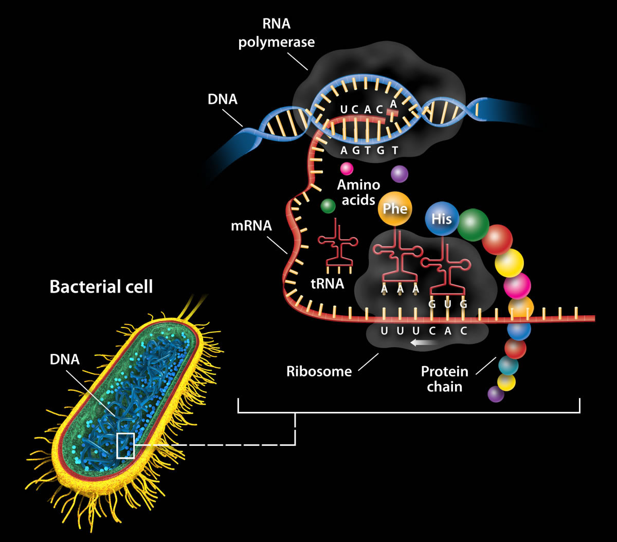 Image: Expressing The Genome In Bacterial Cells