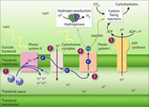Photosynthesis Production of Hydrogen from Water