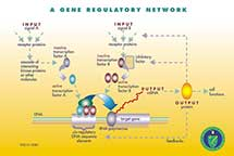 Gene Regulatory Network