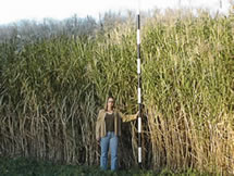 Miscanthus Growth over a Single Growing Season in Illinois