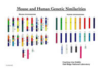 Mouse and Human Genetic Similarities