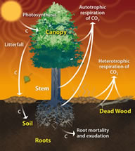 Terrestrial Photosynthetic Carbon Cycle