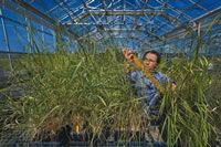 Bioenergy Crop Research at the Joint BioEnergy Institute