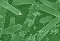 Metabolically Engineered Bacteria Produce Biodiesel